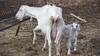 maternità (lele orpo) Tags: river sardinia gh1 cedrino neulè ecoparco