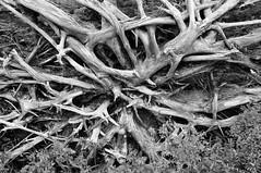 Roots - Heart Lake (Bob Beyer) Tags: newyork adirondacks adirondack