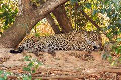 Jaguar (Jim Scarff) Tags: brazil jaguar mammals matogrosso carnivora felidae pantheraonca felids portojofrepantanal