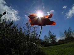 Sunburst Poppy.