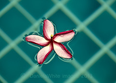 Floating (DWImages-Daniela White) Tags: flower water pool pattern colours squares floating fresh fragrant frangipani transparent oriental liquid freshness scented crossinglines geometricalshapes