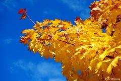 Herbstgold (diwe39) Tags: himmel blau bltter herbst2013