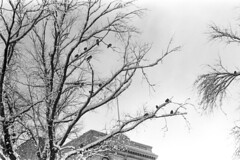 021269 16 (ndpa / s. lundeen, archivist) Tags: park trees winter blackandwhite bw snow storm building 1969 film monochrome birds boston 35mm ma blackwhite massachusetts branches nick snowstorm 1960s february common snowfall blizzard bostoncommon beaconhill statehouse winterstorm dewolf heavysnow massachusettsstatehouse bigsnow coveredinsnow recordsnowfall recordsnow nickdewolf photographbynickdewolf