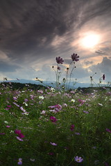 Afternoon in the Cosmos (Leigh MacArthur) Tags: pink blue autumn sunset sky cloud sun white flower green fall nature asian outdoors nikon asia dramatic korea korean southkorea leigh cosmos province macarthur kangwondo d800  gangneung   cokin   gangwondo gangwon kangwon  polargrape