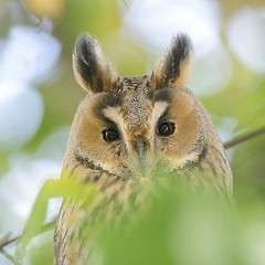 Long-eared Owl (Asio otus) (m. geven) Tags: autumn wild bird fall nature fauna native wildlife herfst nederland natuur headshot blad hidden raptor owl perched predator portret avian oren birdofprey vogel achterhoek longearedowl avifauna gelderland uil nightbird nld na
