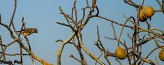 Tweet in Buckeye Tree - A Mixed Bag of Fowl at Tolay Lake Regional Park (Dunby PICS) Tags: california park county lake bird photo sonoma pic lane cannon petaluma regional tolay