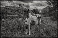 Friendly Dartmoor Pony's (Evoljo) Tags: uk blackwhite nikon cornwall wildlife pony dartmoor hdr d7100