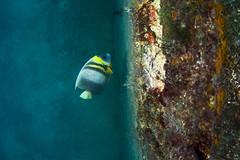 wrkangel2770 (gerb) Tags: topv111 coral 510fav mexico topv555 topv333 underwater scuba topv777 wreck cortez angelfish lapaz tvp aquatica d7000 sigma1017fe
