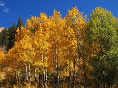 Aspen Grove in Fall (Batikart) Tags: travel blue autumn trees light vacation sky usa oktober sun mountain holiday mountains green fall nature colors leaves yellow america forest canon landscape geotagged golden us leaf woods colorado holidays unitedstates grove branches urlaub laub herbst natur rocky himmel denver berge foliage co trunk rockymountains blau aspen amerika ursula espen ste landschaft sonne wald bltter bume baum vacanze sander g11 baumstamm populus goldengatecanyonstatepark 100faves 2013 batikart canonpowershotg11
