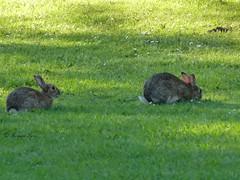 in the paddock (1) (margaretpaul) Tags: wildanimal rabbits