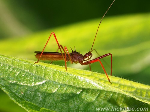 Assassin Bug - family Reduviidae