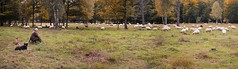 The shepherd and his two border collies keep an eye on any divided flock (Bn) Tags: bridge autumn dog nature netherlands colors forest topf50 collie sheep shepherd border flock herfst s heath breed topf100 herd oldest johan flo heide drenthe noordholland tafelberg utrechtse heuvelrug herding herdershond 268 tafereel kampsheide natuurreservaat blaricum griffioen zanderij spanderswoud schaapskudde 100faves 50faves reservaat wasmeer beroep fransekamp berkenboom schaapherder westerheide goois buitenplaatsen pastoraal crailoo laarder bussummerheide gravelandse zuiderweide protesttocht herdelijk
