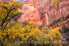 Zion in Autumn_1463 (chasingthelight10) Tags: travel autumn trees fall nature photography landscapes utah seasons events places foliage zionnationalpark canyons eastwall virginriver navajosandstone rocksandtrees zionlodge otherkeywords