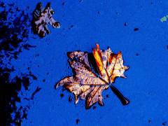 Foglie morte 1 (gpaolini50) Tags: foglie colore explore autunno forma composizione emozioni explored esplora creattività