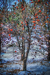 apple tree hdr 2 (flickaway1) Tags: winter food snow cold tree ice apple field canon corn 5 branches nation harvest iowa late raccoon geographic kernel lightroom t3i photomatix