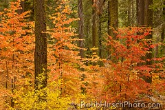 Fall colors and Conifers, Yosemite NP (RobbHirsch) Tags: california trees usa fallcolor graphic northamerica yosemitenationalpark striking sierranevada yosemitehighcountry tuolumnegrove mountaindogwood