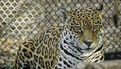 Jaguar (Tom Traylor) Tags: animal nikon bigcat jaguar phoenixzoo nikond800