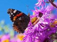Admiral (brigitteblaettler) Tags: autumn butterfly herbst admiral schmetterling herbstaster specanimal