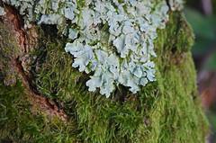 Thse-la-Romaine (Loir-et-Cher) (sybarite48) Tags: france tree boom rbol lichen albero flechte arbre rvore baum liquen liken loiretcher aa lquen  drzewo lichene      thselaromaine     liszaj