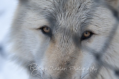 WOLVES_Jan182014_0012 (Roni Chastain Photography) Tags: animals wolf wildanimal wolves canines wolfconservationcenter nywolf rockymountaingraywolf