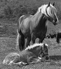 Someone to watch over me 2 (estenvik) Tags: blackandwhite horse mountain norway work norge mare kodak trix norwegian breeding erik pferd re2 draft fjell hest brood foal häst topcon stute oppland merr dølahest føll sikkilsdalen hesteavlsseter estenvik erikstenvik sikkilsdalsseter avlsmerr avlshoppe hesteavl