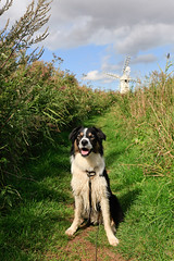 _MG_0082 (GOLDENORFE) Tags: windmill norfolk bordercollie