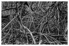 root (abtabt) Tags: park plant tree sarawak malaysia kuching bako d70028300