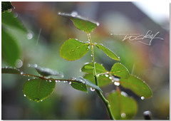 雨天下的逆光拍攝,亮點都是水滴。 (RZ.....rocky zhang) Tags: hipbotunsquare