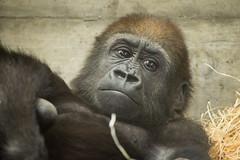 2014-05-24-10h42m41.BL7R6466 (A.J. Haverkamp) Tags: germany zoo gorilla stuttgart vana wilhelma dierentuin westelijkelaaglandgorilla canonef100400mmf4556lisusmlens httpwwwwilhelmade pobwuppertalgermany dob16032012