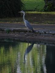 A Big Renfrew Bird (Bricheno) Tags: park bird heron reflections scotland pond escocia szkocja renfrew schottland robertsonpark greyheron scozia cosse  esccia   bricheno scoia