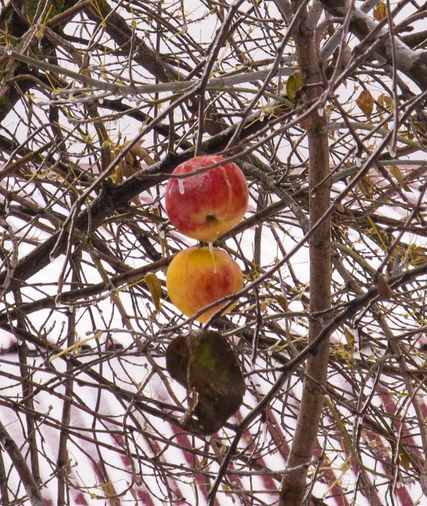 фото: Ice apples