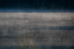 Early Morning on the Lake (Cathy de Moll) Tags: lake duck mist swimming fog minnesota mysterious atmosphere