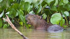 Capybara showing tongue (Tambako the Jaguar) Tags: capybara big rodent profile water river bathing eating plants vegetation tongue funny wildanimal wild wildlife nature pantanal matogrosso brazil nikon d5