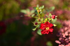 (DianePL) Tags: flower red rose outdoor nikon nature natura nophotoshop natural ogrd green garden autumn colours colors closeup colorful wallpaper 2016 nikkor 35mm bokeh bloom blossom beskidy poland polska podbeskidzie plant pastel d5100 dof depthoffield