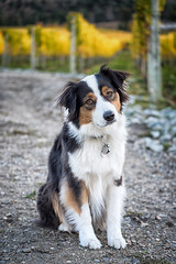 Bella (jarrardphotography) Tags: adorable loyalty loyal furry vineyard eyes winerydog pet nature australlianshephard dog animal beauty perro cute hund
