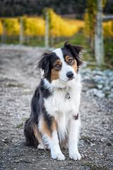 Bella (jarrardphotography) Tags: adorable loyalty loyal furry vineyard eyes winerydog pet nature australlianshephard dog animal beauty perro cute hund