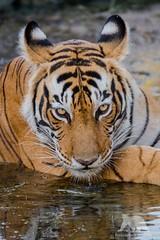 Wild Tiger Portrait (fascinationwildlife) Tags: animal mammal wild wildlife nature natur national park ranthambhore india asia pond portrait close up tigress bengal stare eyes predator cat feline elusive female summer