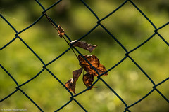 Happy Fence Friday - Herbst (J.Weyerhuser) Tags: hff hechtheim zaun fenced friday leaf autumn herbst