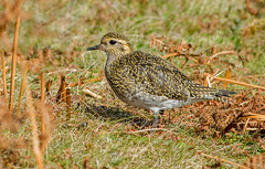 DSC4337  Golden Plover.. (jefflack Wildlife&Nature) Tags: goldenplover plovers plover birds avian wildlife wildbirds waterbirds wetlands waders fields heathland moorland marshland coastalbirds countryside nature