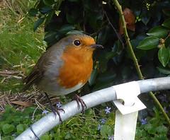 Foreman Robin (Durley Beachbum) Tags: odc robin bird garden bournemouth october