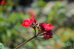 Red (Nabil EL-shimy) Tags: rose green flower warm love plant awsome beauty