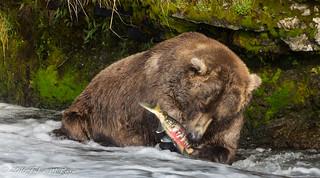 Salmon Bear Lunch