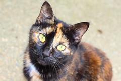 Cat's Eyes (eskayfoto) Tags: canon eos 700d t5i rebel canon700d canoneos700d rebelt5i canonrebelt5i sk201609301445editlr sk201609301445 feline cat lightroom meow eyes niftyfifty nifty fifty animal