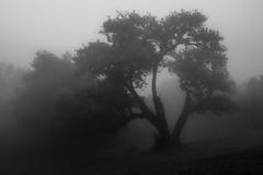 The Last Hope (Aymeric Gouin) Tags: madeira madre portugal europe monochrome black white noir blanc mood arbre tree shadow ombre light lumire fog brume brouillard nature mist ambiance olympus omd em10 aymgo aymericgouin landscape paysage