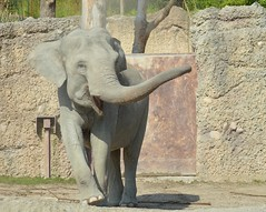 Zoo Zrich 04 (NachtfuchsOHZ) Tags: zoo zoozrich zrich tiergarten tierpark schweiz ch urlaub holiday tier tiere animal animals elefant elephant grau gray sand rssel beak nikon d3200 outdoor drausen