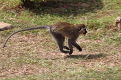 IMG_1925 (Gifted Individual) Tags: vervet monkey nature wildlife running savanna jungle action jumping kampala uganda