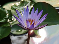 lily in the sun (oneroadlucky) Tags: nature plant flower purple lotus waterlily