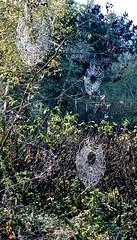 Ano Nuevo, spider webs, Butano State Park, Goat Hill trails, Little Butano Creek, redwoods (David McSpadden) Tags: anonuevo butanostatepark goathilltrails littlebutanocreek redwoods spiderwebs
