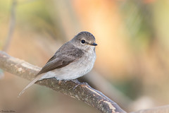 African Dusky Flycatcher (Muscicapa adusta) (Brendon White) Tags: africanduskyflycatcher muscicapaadusta george westerncape southafrica nikon flash d7100 bokeh gardenroute