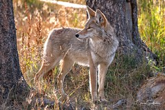 Backlit Coyote (craig goettsch - on the road again!) Tags: canine coyote mammal animal nature wildlife fall yellowstonenp wyoming nikon d500 ngc